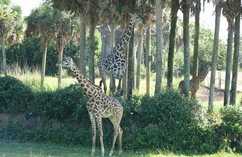 1.1434393887.1-giraffes