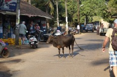 5.1452789616.cow-takes-over-crossroads-in-patnem