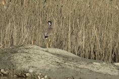 5.1454022803.wading-bird