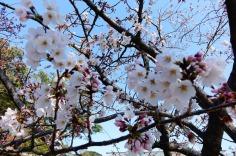 3.1459027436.cherry-blossom
