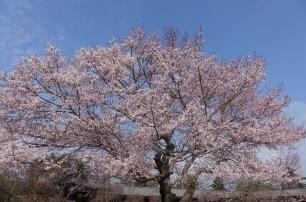 3.1459193119.cherry-blossom