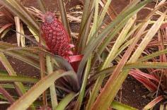3.1459967758.pineapples-growing